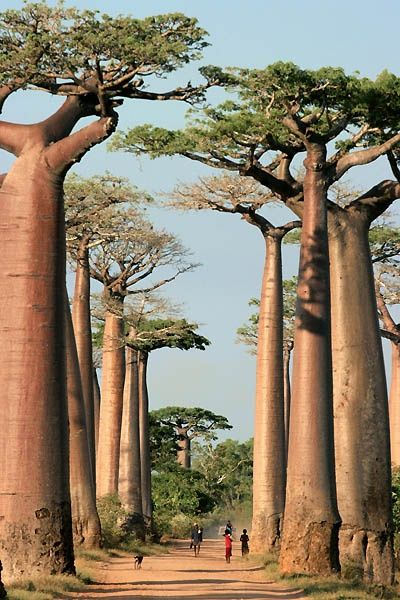 Baobab trees in Madagascar-Beautiful, Weird, And Exotic Places That Tease The Imagination (Photos) | Beyond Science