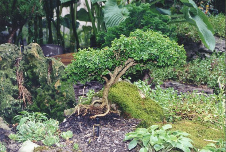 17 best images about large rare and unusual ornamental for Small decorative evergreen trees