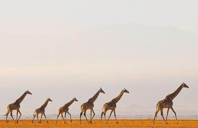 A Tower of Giraffes by Greg du Toit #Giraffe #Greg_du_Toit