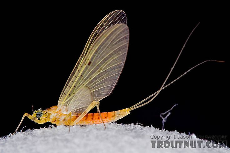 Female Stenacron interpunctatum (Light Cahill) Mayfly Dun from the West Branch of Owego Creek in New York