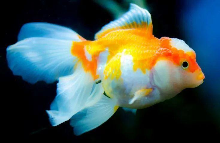Do Goldfish Sleep In 2020 Goldfish Salt Water Fishing Pet Fish