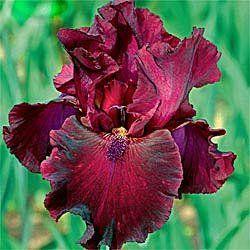 Rio Rojo Iris