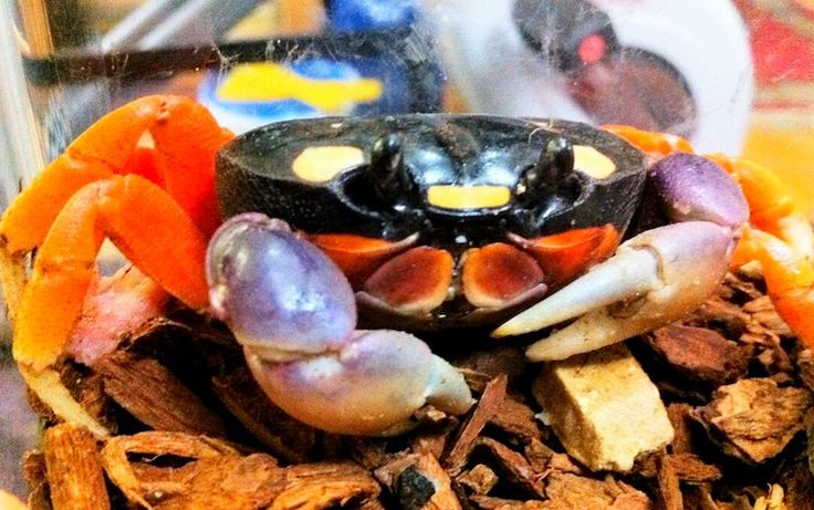 These animals need the right environmental conditions to thrive. Keeping Halloween moon crabs as pets means creating the best habitat you can for them.