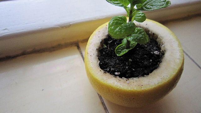Start Spring Plants in Citrus Peels