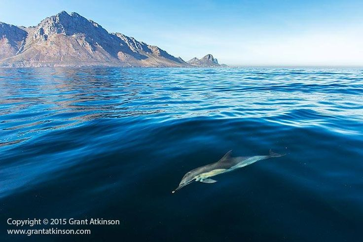 Happy Earth Day...  Credit: http://ow.ly/LWCMF   #earthday #commondolphin #bluesea #mountain #westerncape