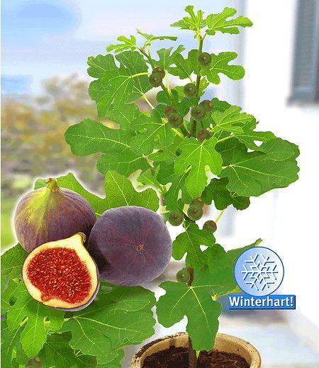 frucht feige rouge de bordeaux gro 1 pflanze ficus carica. Black Bedroom Furniture Sets. Home Design Ideas