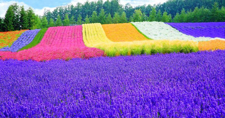 日本最大規模の「ラベンダー畑」!紫色の花カーペットはまもなく見ごろです! - Find Travel