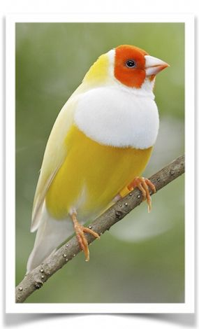 Yellow-backed Lady Gouldian Finch for Sale - Lady Gouldian Finches For Sale - Lady Gouldians For Sale - Pet Birds For Sale - Birds For Sale - Buy Birds Online