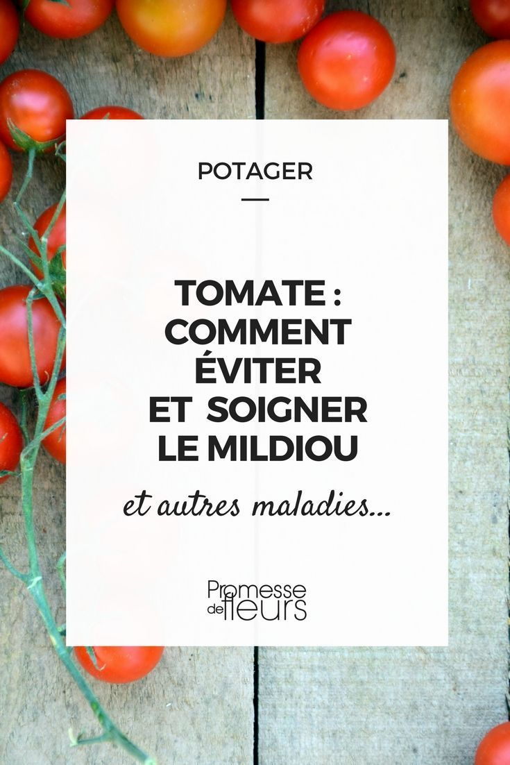 Tomate En Pot Conseil tomate : mildiou, autres maladies et ravageurs | jardin et