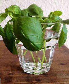 Basilikum Ableger bildet schnell Wurzeln im Wasserglas (Diy Garden Balcony)