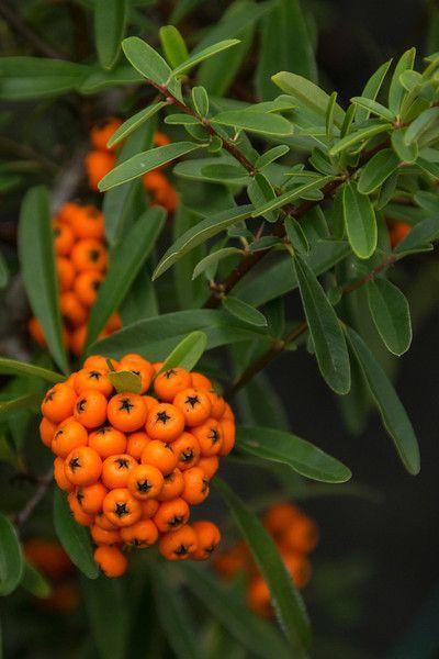 A faj kettős latin neve: Pyracantha coccinea Magyar név: tűztövis Család: Rosaceae  Alcsalád: Maloideae  Rend: Rosales Életforma: N-M Termés: tüszőcsokor alma  áltermésben
