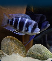 Welcome to JAVED FISHERIES - We are breeder, wholesale, dealer, collector, supplier, importer for tropical fish. We can supply cichlids, cichlids fish, albino red oscar, albino tiger oscar, red tiget oscar, copper oscar, albino veiltail oscar, tiger veiltail oscar, balloon ramirezi, golden balloon ramirezi, blood red parrot, green yellow blue parrot, blue dempsey, blue peacock, borleyi, cyphotilapia frontosa, electric blue peacock, golden green red spotted severum, green terror, horse face…