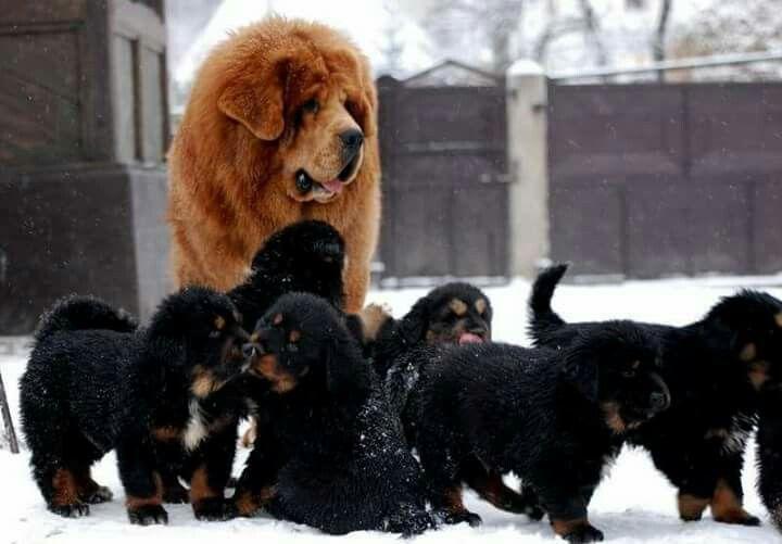 https://www.facebook.com/dumitrel.ungureanu #puppy #puppies #Tibetan #Mastiff #sale