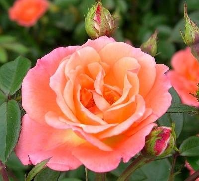 Beautiful Sunrise Climbing Rose: Beautiful Sunrises, Roses Roses, Climbing Roses, Rose Bush, Sunri Climbing, House, Colorful Roses, Sunrises Climbing