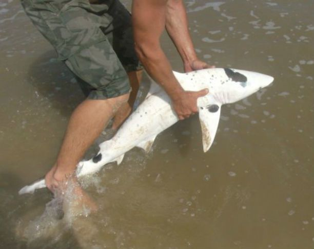 SURF FISHERMAN CATCHES EXTREMELY RARE PIEBALD BLACKTIP SPINNER SHARK [PICS]