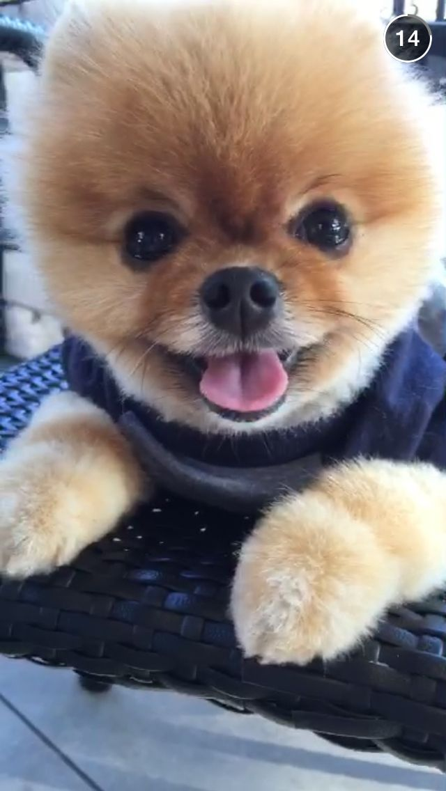 jeff the pomeranian 363 best images about jiffpom on pinterest cutest dogs 6634