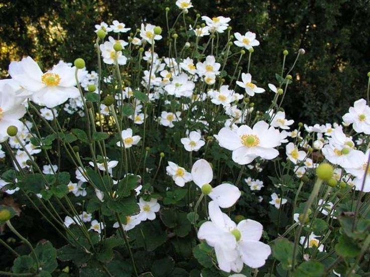 Anemone giapponese - Anemone japonica - Anemone japonica - Piante da Giardino - Anemone giapponese - Anemone japonica - Arbusti