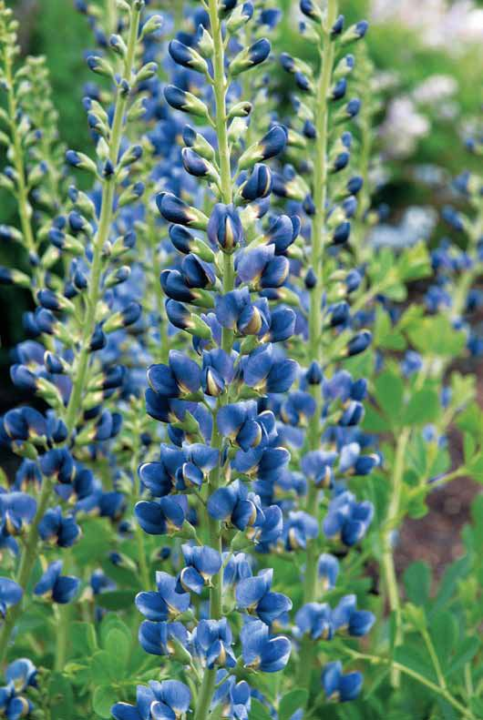 Baptisia: For more info: http://www.gardeningknowhow.com/ornamental/flowers/baptisia/growing-baptisia-plants.htm