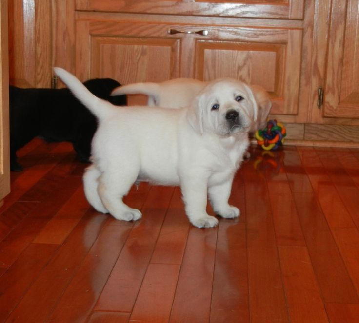 English lab puppies are stockier, fatter and have shorter legs and bigger heads…