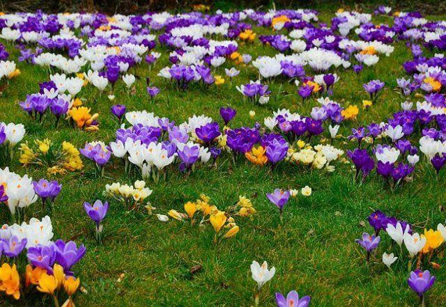Разноцветная поляна из крокусов