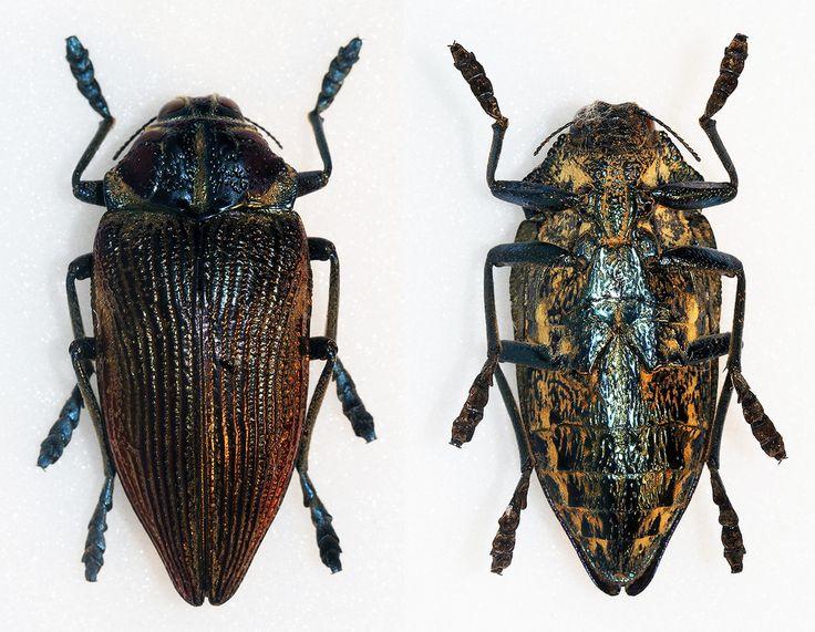 https://flic.kr/p/DuPbDD | Polybothris lesnei | Thery,1926 Sex: ? Data: 04-2008 - Amboasary - Anosy Region - Madagascar Size: 38.5mm