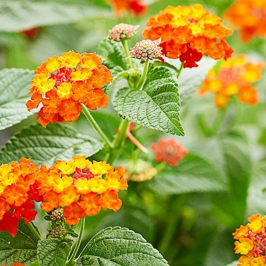 Perfect for those hot spots in your garden, lantana thrives in the heat while producing beautiful flowers.