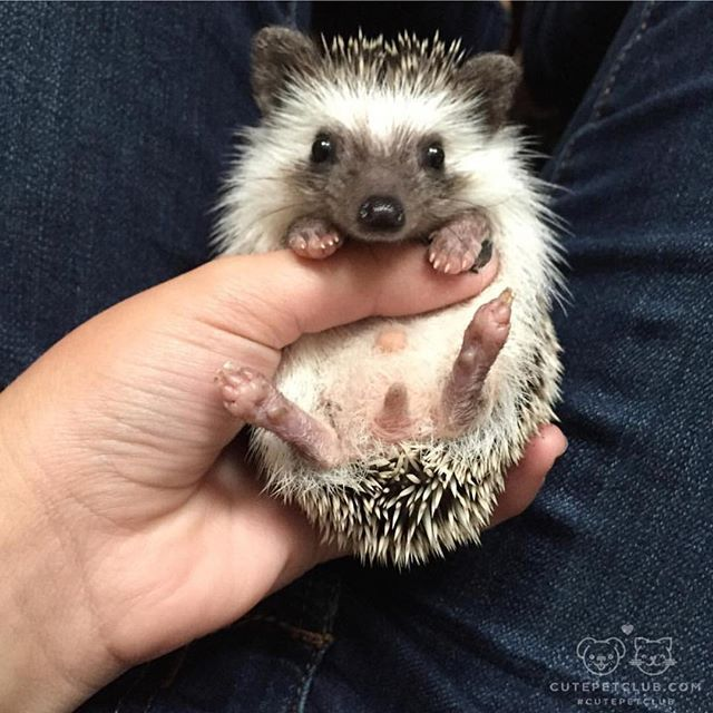 """From @cappuccino.the.hedgie: """"Cappuccino is an African Pygmy hedgehog; more specifically a common pinto. He was born 6/23/15 and adopted on 8/23/15 ❤️❤️"""" #cutepetclub"""