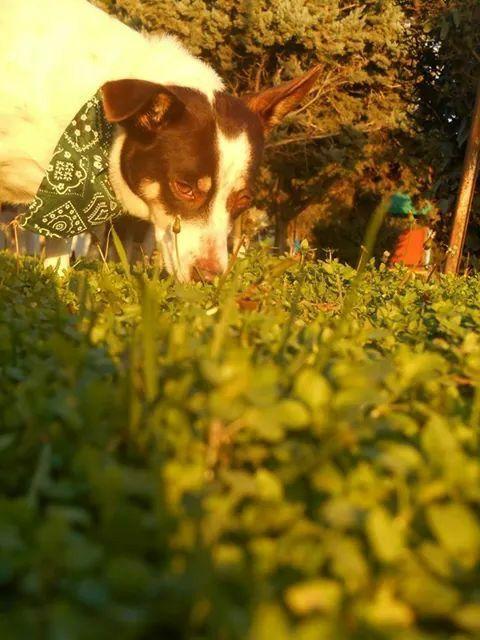 RIP Apache μικρόσωμη σκυλίτσα ψαχνει σπίτι  Τηλ. 6973339612