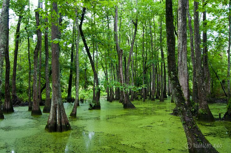 The water tupelo and bold cypress swamp on Natchez Trace shows just how impressive nature can be.