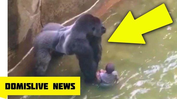 KILLING HARAMBE, Gorilla Shot & Killed After Boy Falls Into Zoo Enclosure (NEW VIDEO) - YouTube