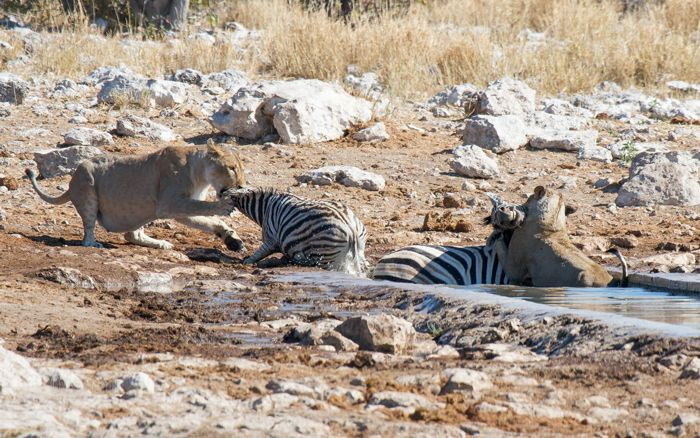 A lion makes a splash when it takes down not one but two zebra at Kalkheuwel waterhole in Etosha.