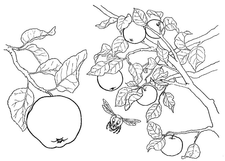 apples on the tree coloring pages  printable
