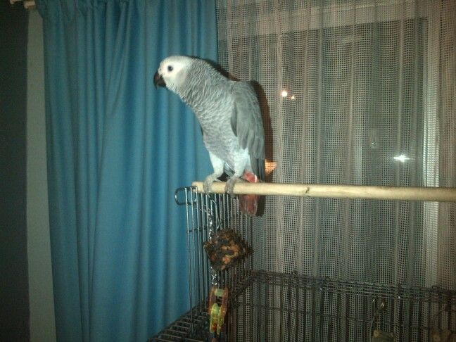 African grey, Pikkewyn my Parrot