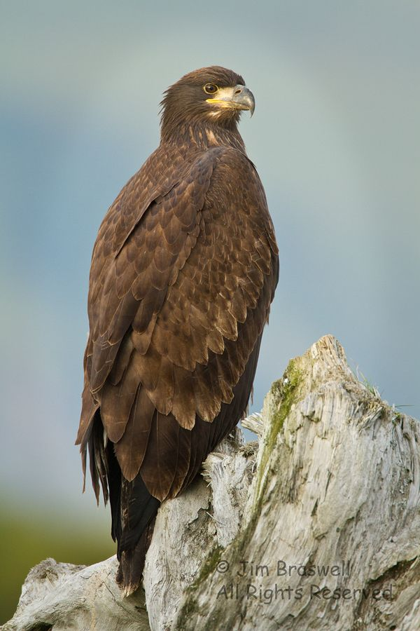 87 Best Images About Eagle Time On Pinterest Rivers