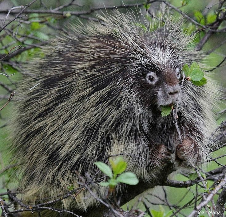 Best 64 Porcupine Family images on Pinterest | Animals and pets