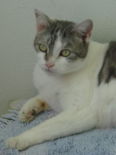 <3 Florence~ Domestic Short Hair - gray and white & Tabby Mix. Homeless Animal Rescue Team (HART) Cumberland, ME. 3 1/2 yr. old stray who's had a rough start. Such pretty coloring & oh-so happy to have a warm bed and plenty of food! Flo is a quiet gal who'd love to come sit by your side! Please take a look at this lovely lithe lady! She needs to a bit of time to relax and get used to you, but is ready for her Furever home!