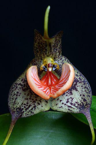Exotic Orchids| Serafini Amelia| Dracula chestertonii