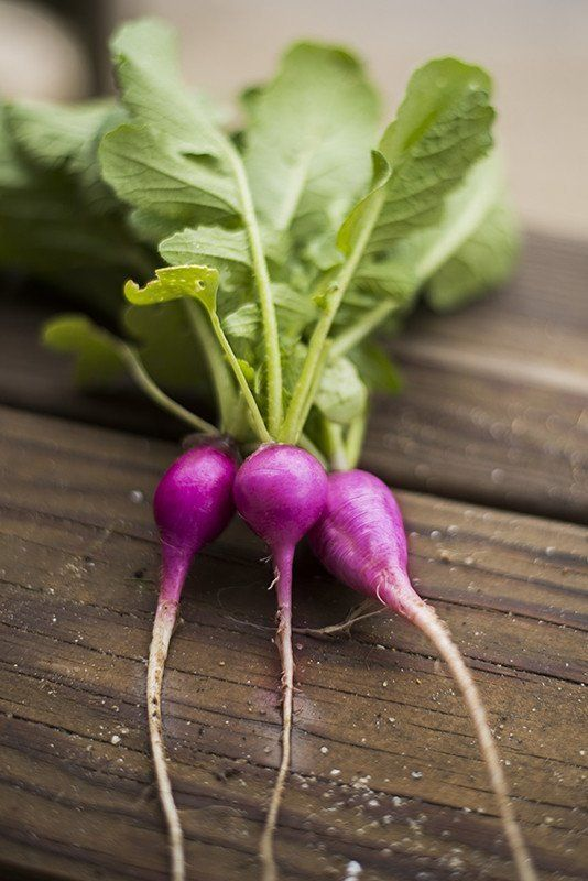 """Germ 5-7 days A unique combination of purple skin and white flesh. Radishes are oval, two inches long and 1 1/2"""" around. Flavor is quite mild. 300 seeds PLANTING: Outdoors- Sow 1/2"""" deep, 1/2 -1"""" apar"""