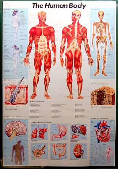 The Anatomy of the Human Body Educational Poster 27x39