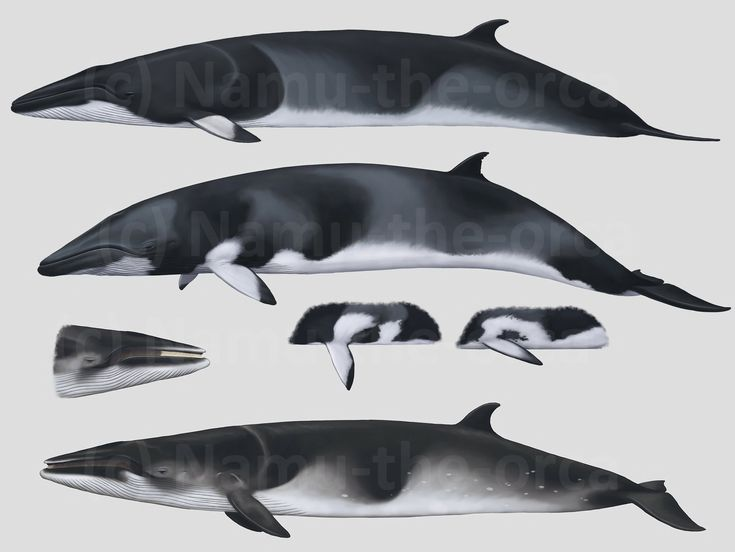 CETACEANS 3 - Minke whales by namu-the-orca on DeviantArt