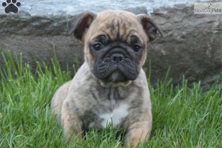 Blue French Bulldogs Puppies In Lancaster Pa | Dog Breeds Picture