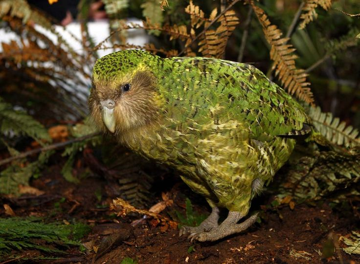 Kakapo-the world's only flightless parrot