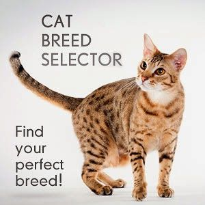 A cat newbie? Know the three nicest breeds ideal for first-time cat owners
