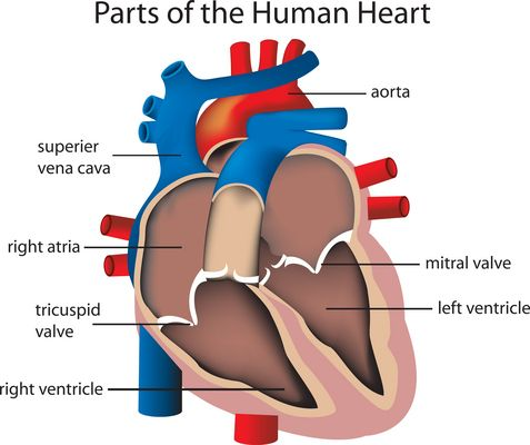 parts of human heart. the anatomy of the different parts of the, Human body