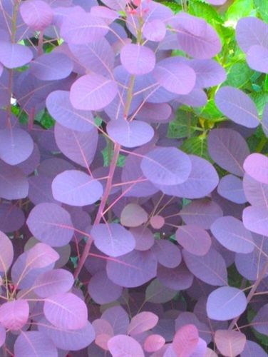 smoke bush - this is a wonderful bush for the garden. the blooms are very airy, thus the name smoke bush. also changes colors with the seasons