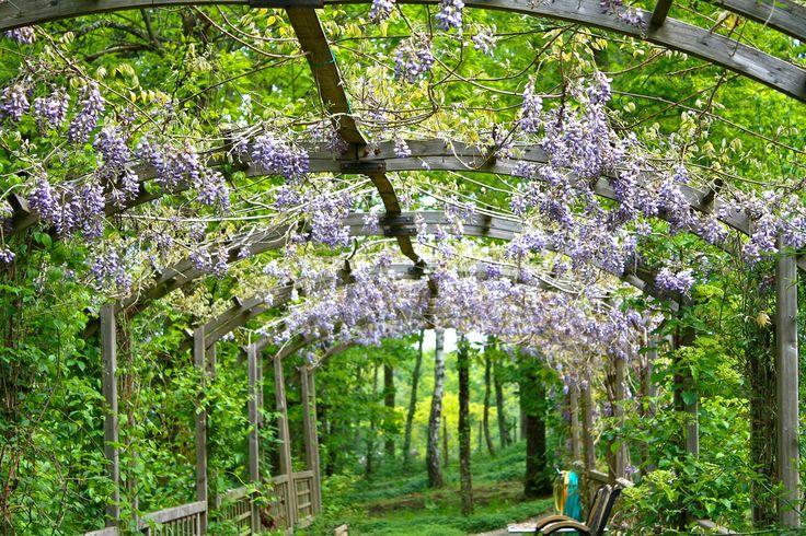 Decorativo e profumato, il glicine è perfetto per ricoprire un pergolato e dare un tocco romantico al giardino #wisteria #plant #garden