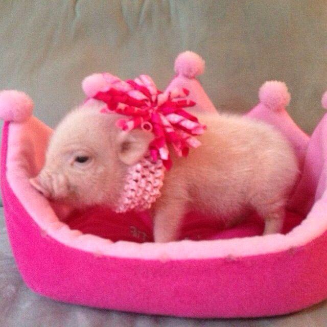 Baby mini pig, piglet in pink