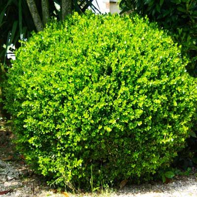 Classic Evergreen Shrubs Popular Since Colonial Times!