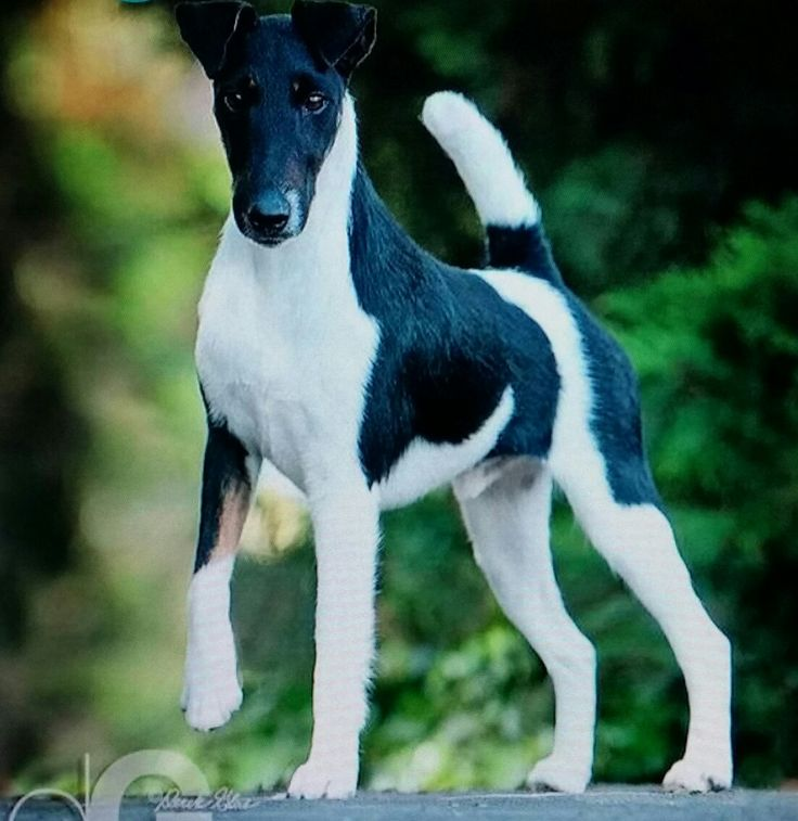 46 best Smooth Fox Terriers images on Pinterest | Smooth fox ...