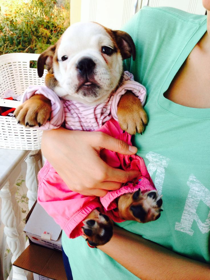 Baby. English bulldog. Love. Puppy. Alex. Bulldog love